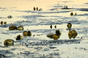 Shorebirds Feeding at Low Tide