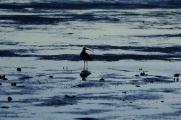 Shore Birds Feeding at Low Tide