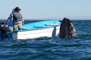 San Ignacio Lagoon Ranger w/Spy-Hopper