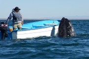 Park Ranger with Spy-hopping Grey Whale