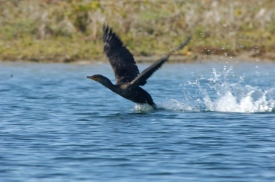 Cormorant Takeoff