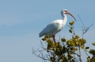 White Ibis in Tree