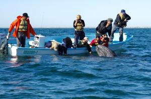 Luke Inman photographs Grey Whale at Ponga