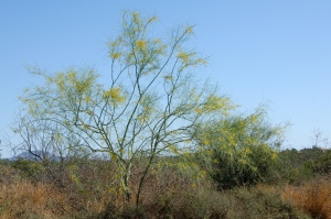 Palo Verde Trees in Bloom