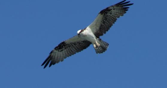Osprey, Baja California