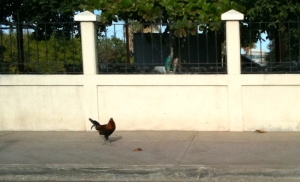 Rooster_on_the_Road
