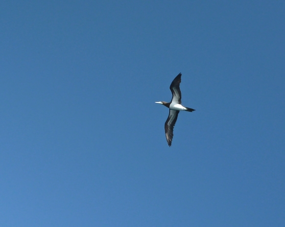 Blue-footed Boobie Hunting