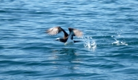 Blue-footed Boobie Taking Flight