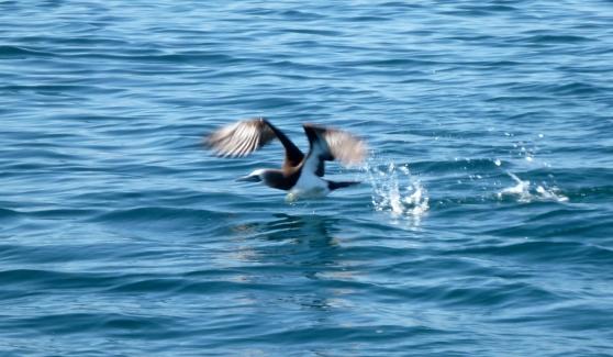 Blue-footed Boobie Taking Flight