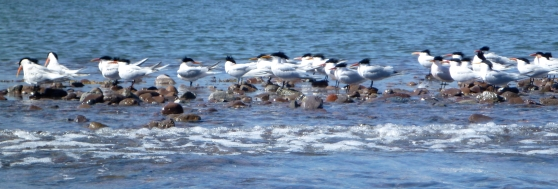 Arctic Terns in Loreto, BCS, MX